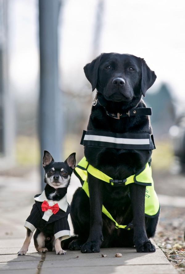 Foster siblings Ceasar and Tilly, Assistance Dogs NI